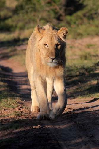 lion-mikumi-national-park